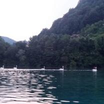 Cigni che abitano il lago